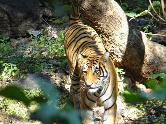 Zone 7 Tigress Ranthambore; Photo by M. Karthikeyan