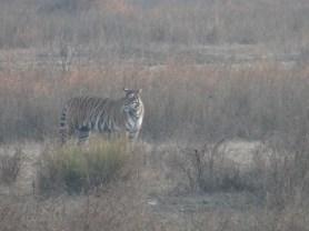 Mukki Range Tigress, Kanha National Park; Photo by M. Karthikeyan