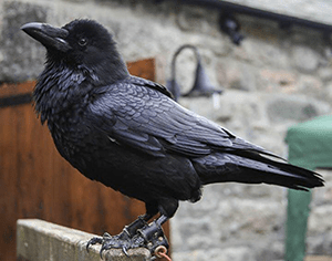 Branwen, Our adopted raven from Ravenswell
