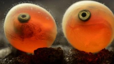 Sockeye Salmon.: Red fish