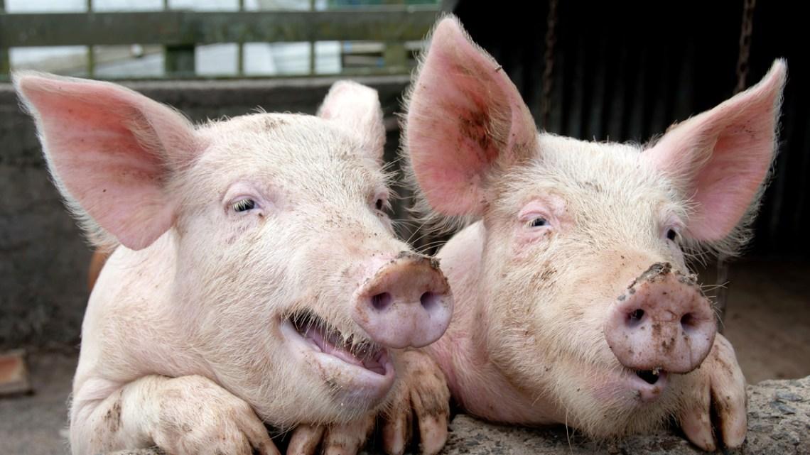"""""""Een geschatte 150-200 miljoen varkens"""" zijn getroffen door een wereldwijde plaag van ongekende verhoudingen"""