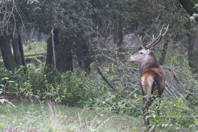 Emilia Romagna, Birdwatching am Podelta, Schwan, Comacchio, Mesolaforst