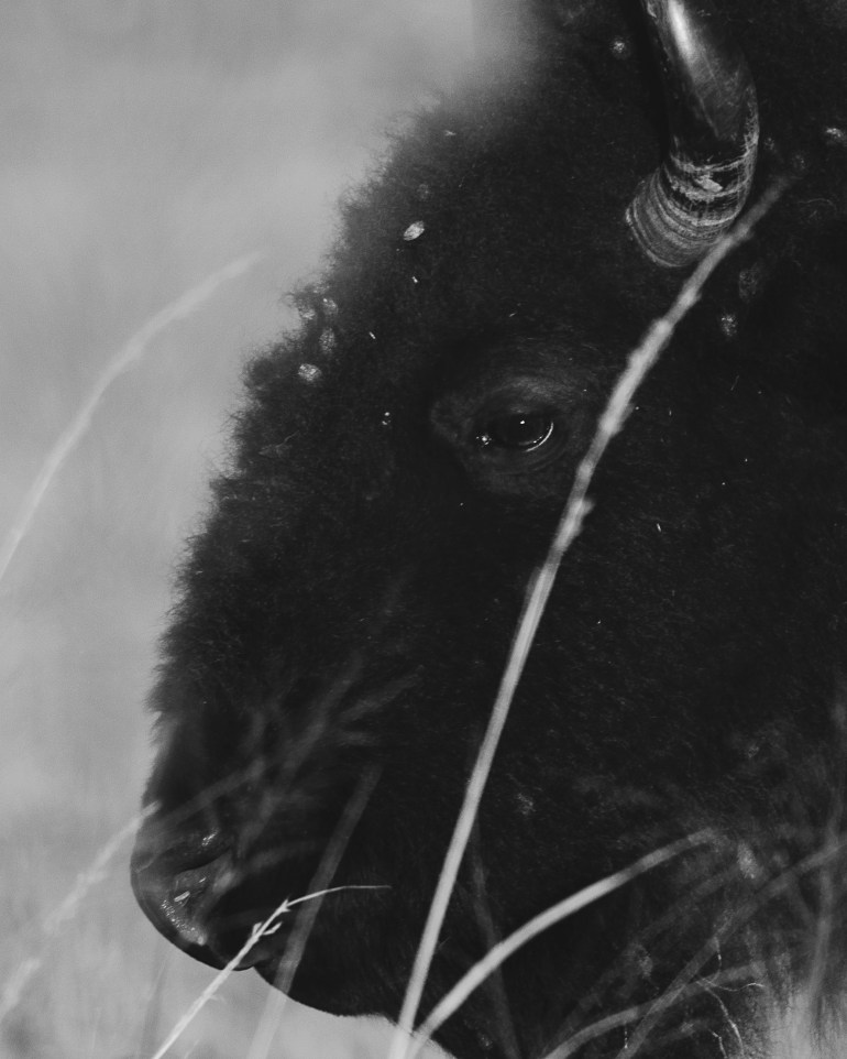 Bison Close up BW