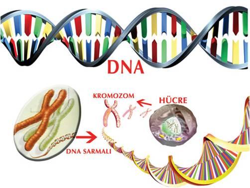 nükleotitler genleri oluşturur hücre