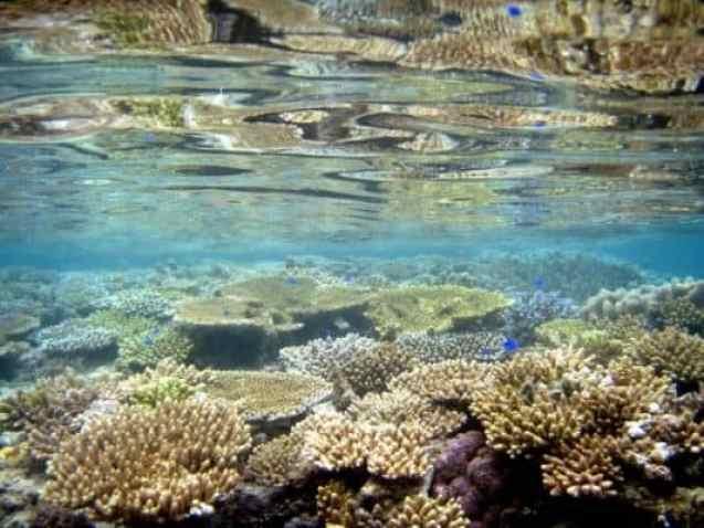 calcio de coral okinawa
