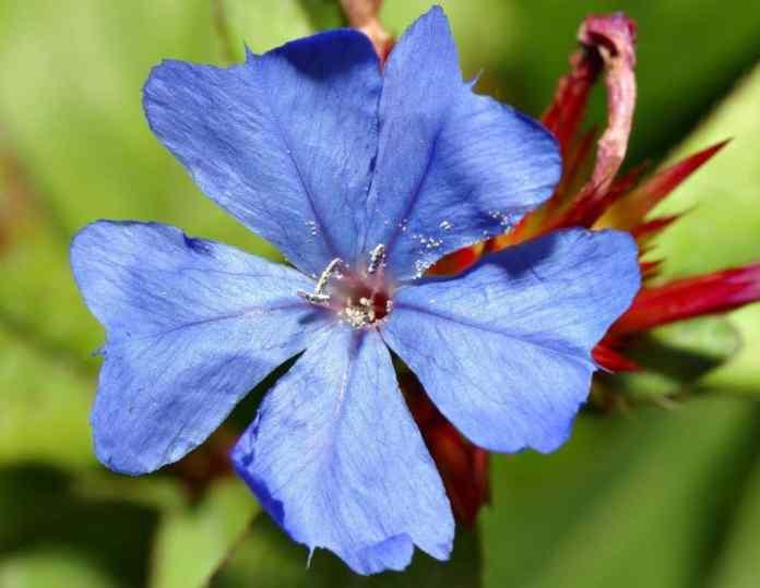 flor de bach cerato