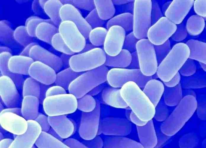 Lactobacillus-plantarum