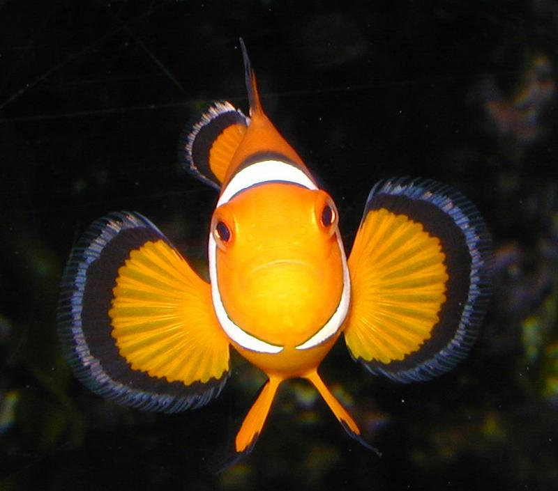 New year, new clownfish. I've had this picture on my desktop so long, I can't remember where it came from.