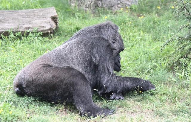 gorilla berliinin elaintarhassa