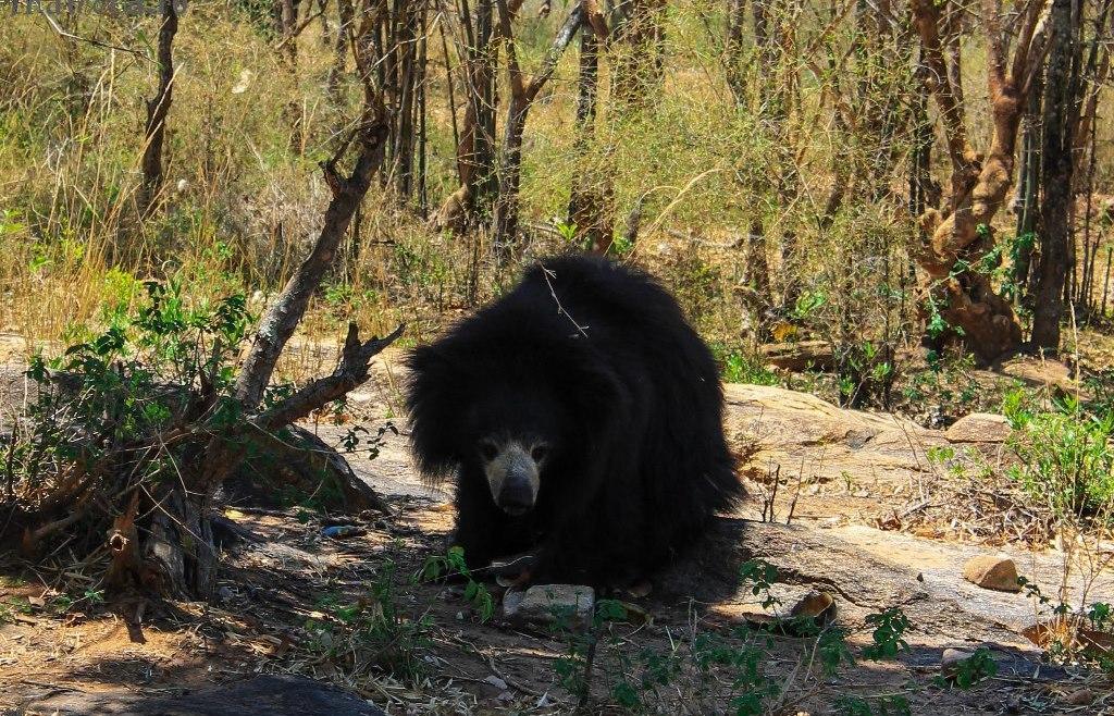 Животные Индии: Баннергхатта