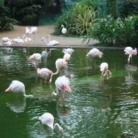 Фламинго Гонконг