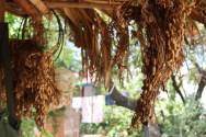 Peanuts seen here are grown in Bagan