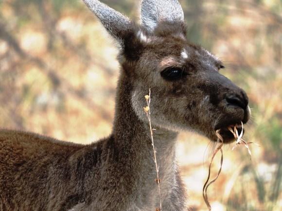 yanchep national park canguro