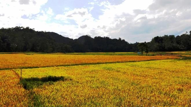 Indonesia le 10 isole più belle campi gialli