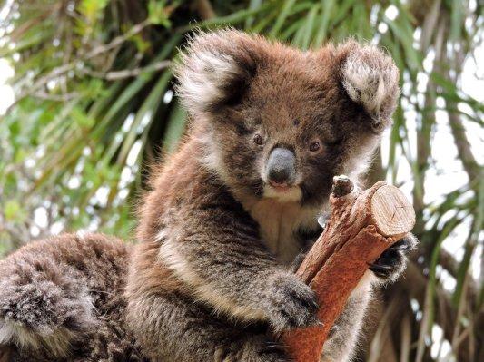 Kangaroo island koala sull'albero