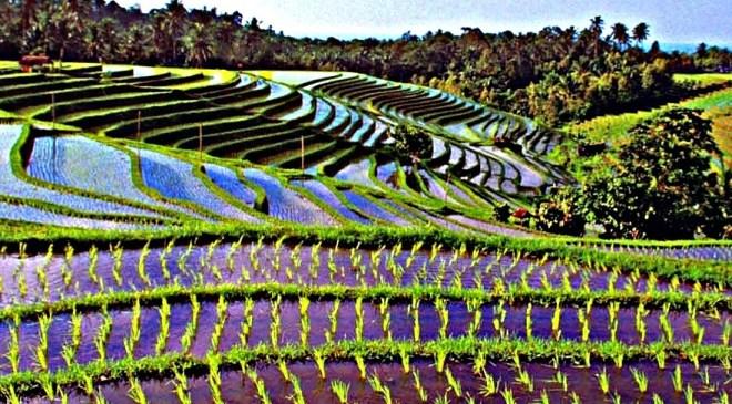 Bali risaie jatiluwih con acqua