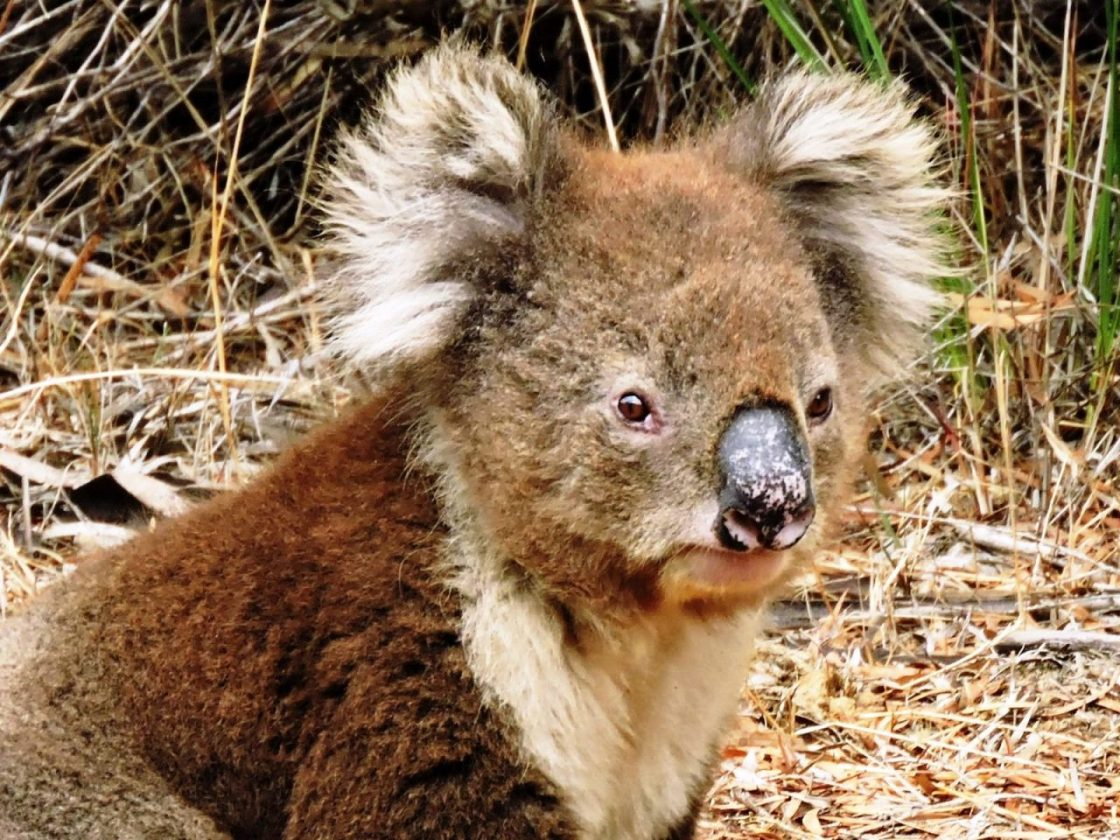 South Australia kangaroo koala
