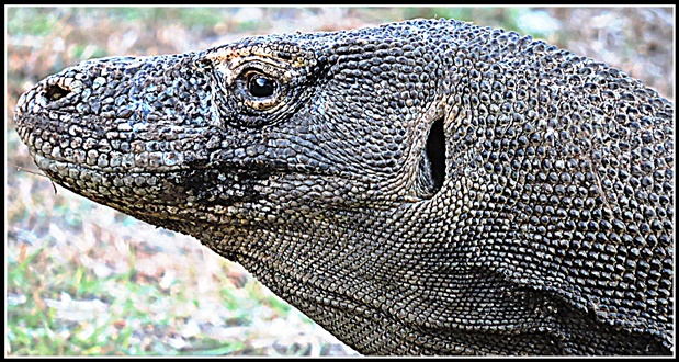 animali rari Komodo drago