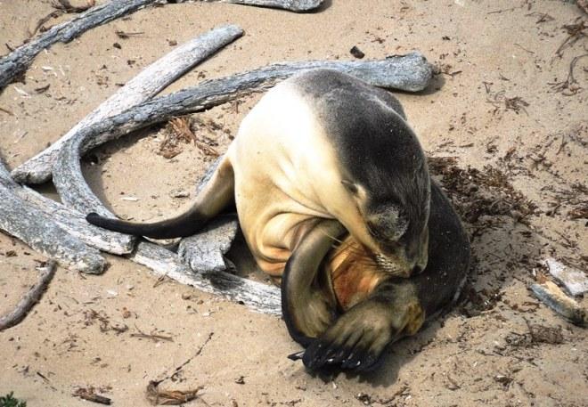 kangaroo leone marino