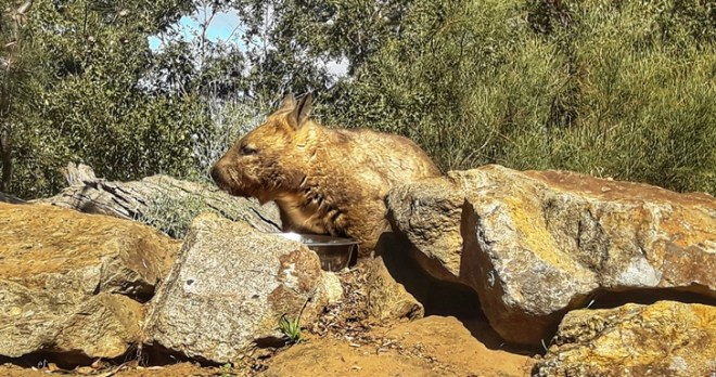 australia wombat