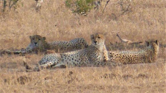 Sud Africa Ghepardi-Parco Kruger