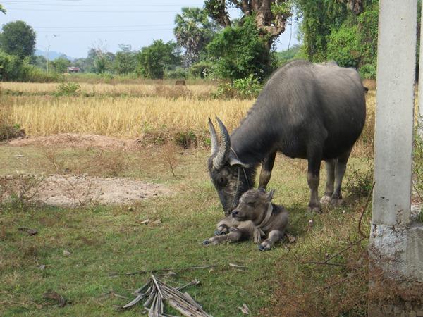Laos bufali