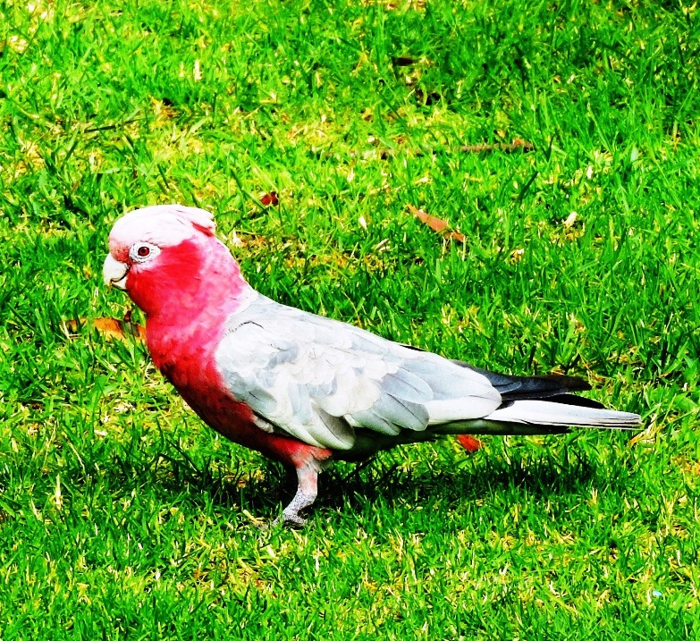 animali australiani pappagallo rosa