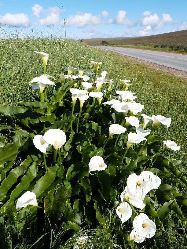 Sudafrica fioriture calle