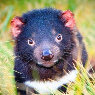 Tasmania il diavolo della tasmania