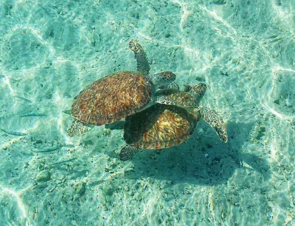 tartarughe a playa Piskado
