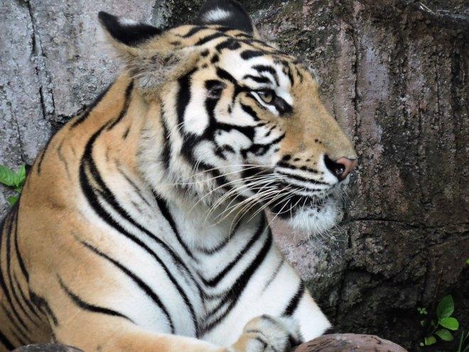 Animali rari tigre di sumatra