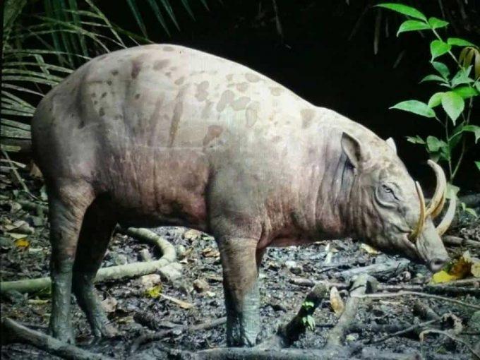 animali rari babirusa