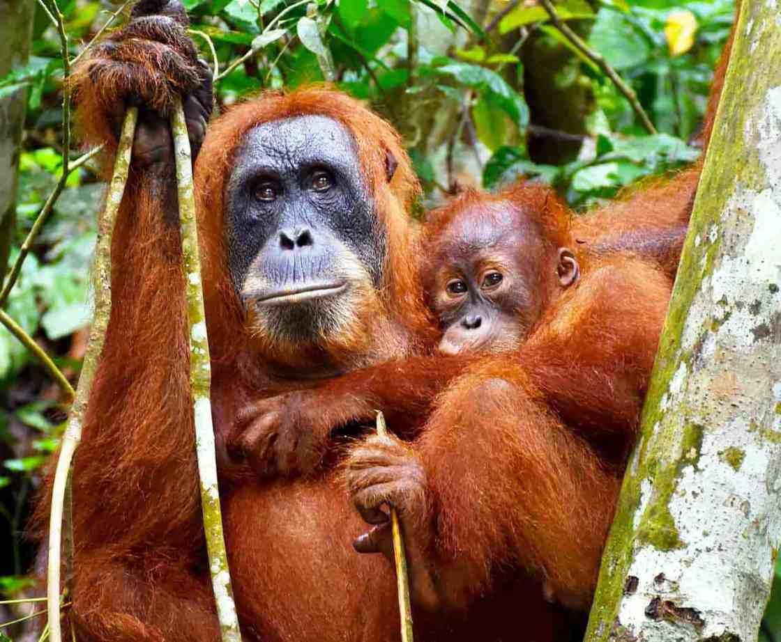 Animali rari orangutan sumatra