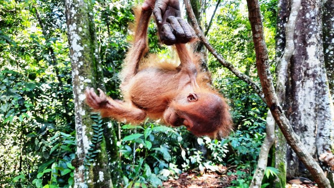piccolo di orango