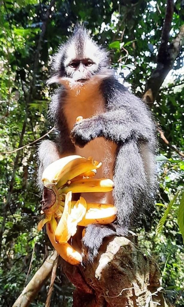 thomas monkey ladra di banana