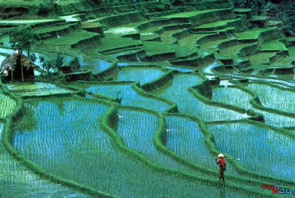 rice paddies Bali, Indonesia Travel guide