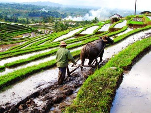 jatiluwih rice paddies