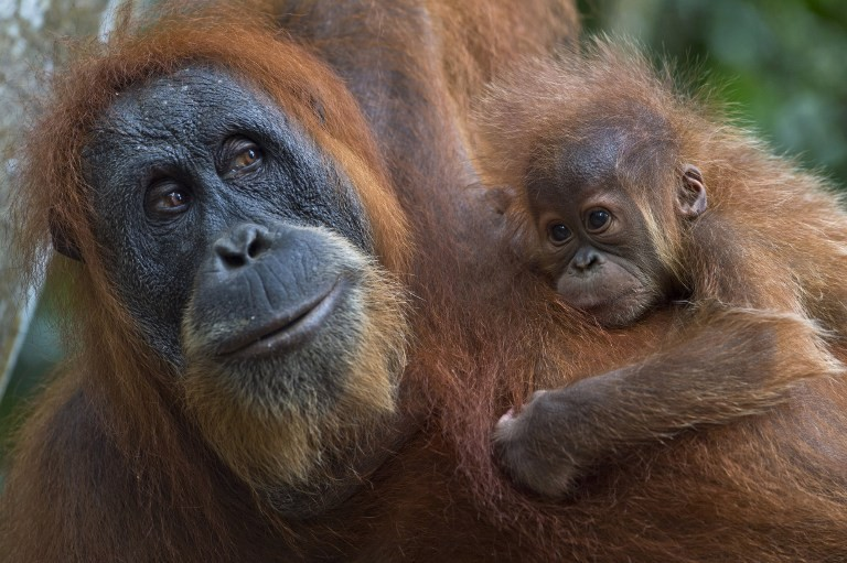 Travel Companies Helping Save Orangutans