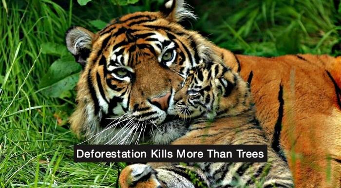 Sumatra tiger conservation
