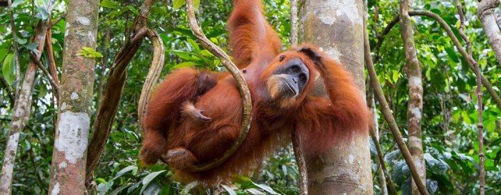 Orang Oetan – Bukit Lawang, Noord-Sumatra