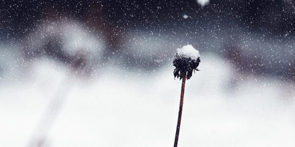 雪のたんぽぽ