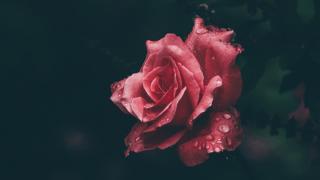 ば_薔薇6