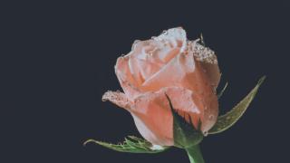 ば_薔薇8