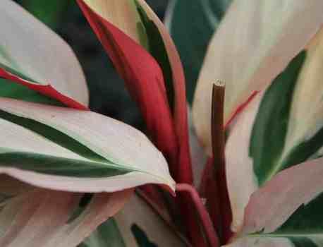 Stromanthe Triostar – How to Care for Stromanthe Sanguinea