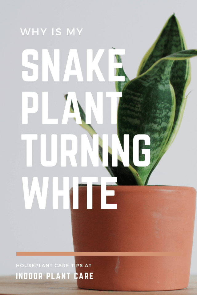 Why Is My Snake Plant Turning White? - Indoor Plant Care