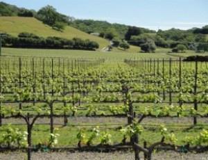 santa-rosa-vineyard