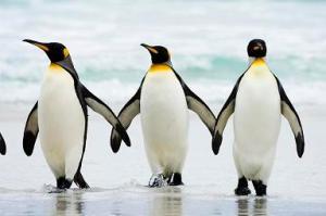 Fakta Menyenangkan Tentang Penguin