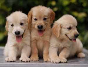 Fakta Menyenangkan Tentang Anjing