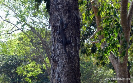 Little komodo dragon spend their most time on trees to escape the predators and adult dragons who don't hesitate to eat them