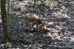 deer on Rinca island